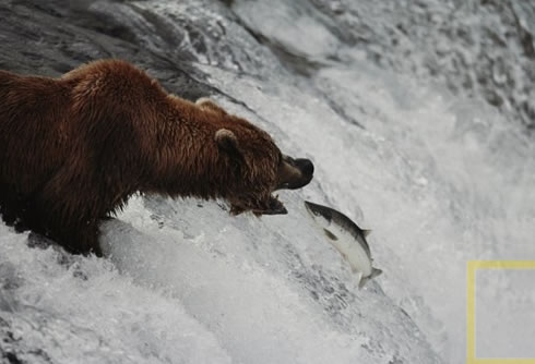 Photo of salmon driving enthusiastically upstream,  straight into the mouth of a waiting bear.
